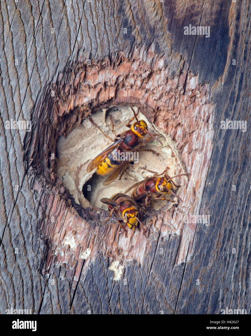 Hornissen Vespa Crabro Nest in einem Nistkasten Vögel Stockbild
