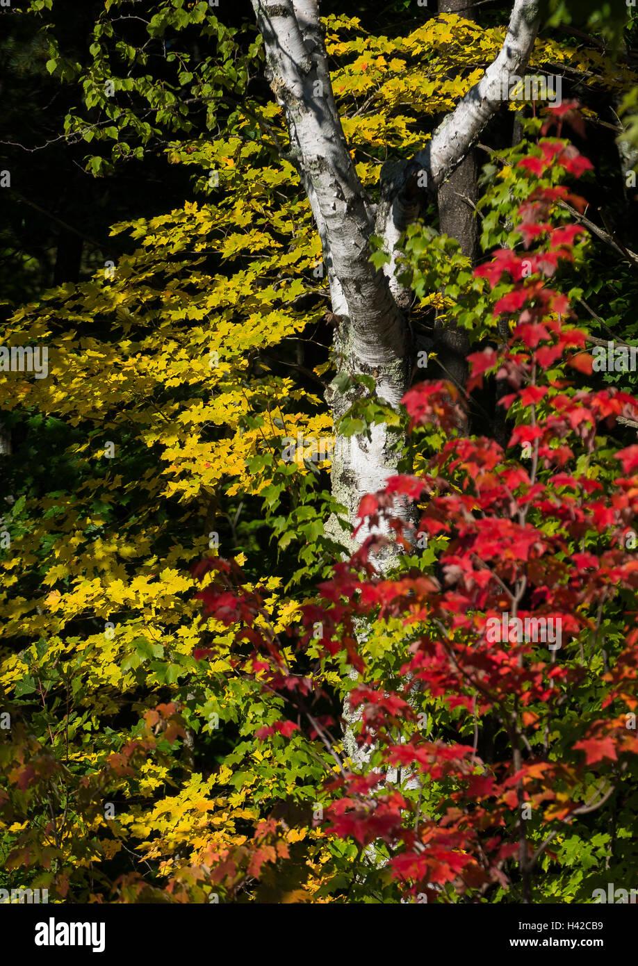 Das helle weiß der eine Birke steht im Kontrast zu den wechselnden Farben eines Neuengland im Herbst. Stockfoto