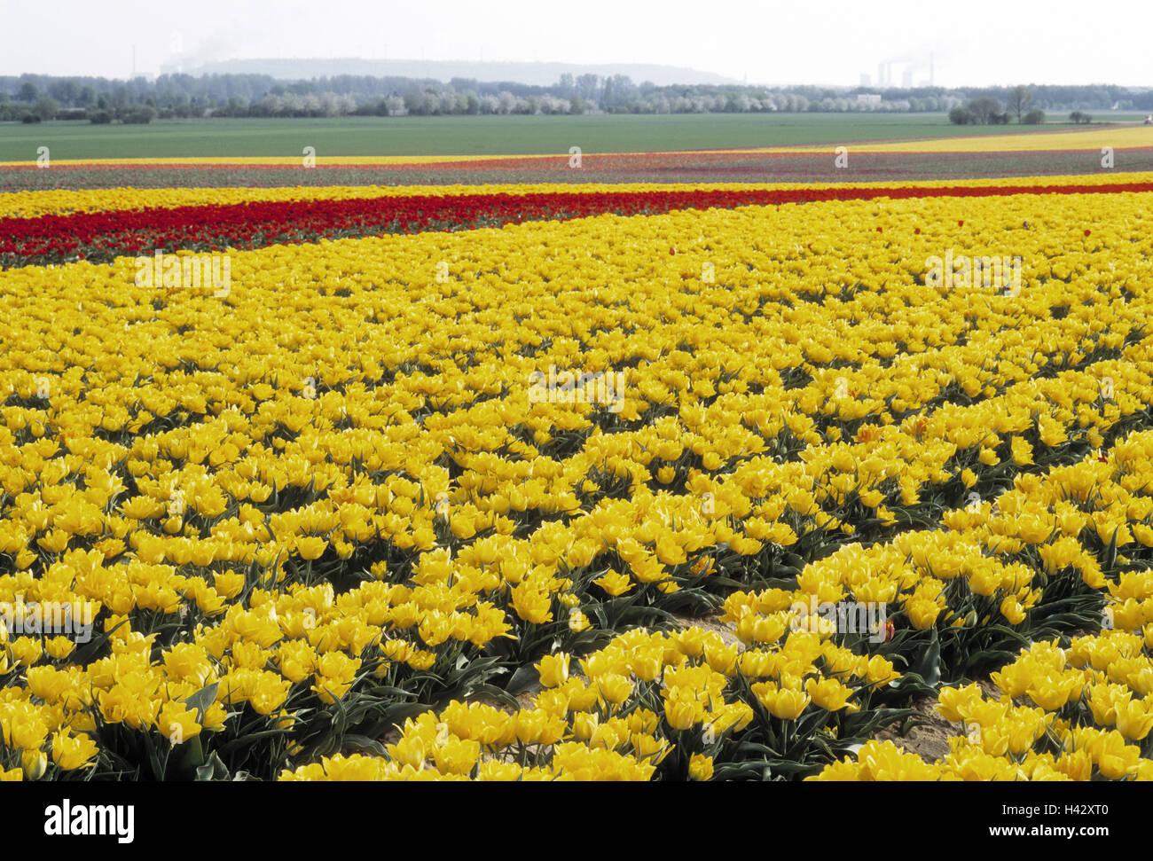 Tulpenfeld, Europa, Deutschland, Nordrhein-Westfalen, Grevenbroich ...