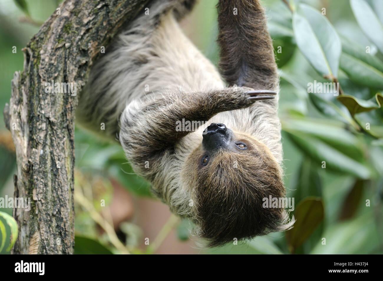 2 finger-Faultier, Choloepus Didactylus, Zweig, hängen, kopfüber, Tier, wildes Tier, Zoo-Tier, Pelz, Säugetier, Stockbild