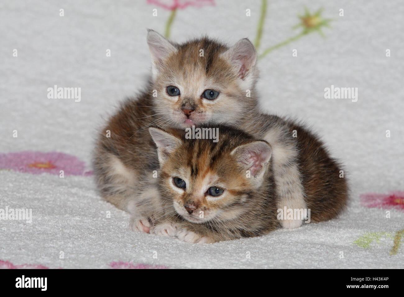 Katzen, junge, liegen, kuscheln, liebevoll, Bett, Tiere, Säugetiere, Haustiere, kleine Katzen, Felidae, zähmt, Haus Katze, Verhalten, Jungtier, Kätzchen, zwei Stück, zusammen, Geschwister, klein, kuscheln, umarmen liebevoll, ungeschickt, unbeholfen, süß, gestreift, Liebe, Naht, müde, dösen, Zuneigung, Zweisamkeit, junge Tiere, Tierbabys, innen, Stockfoto