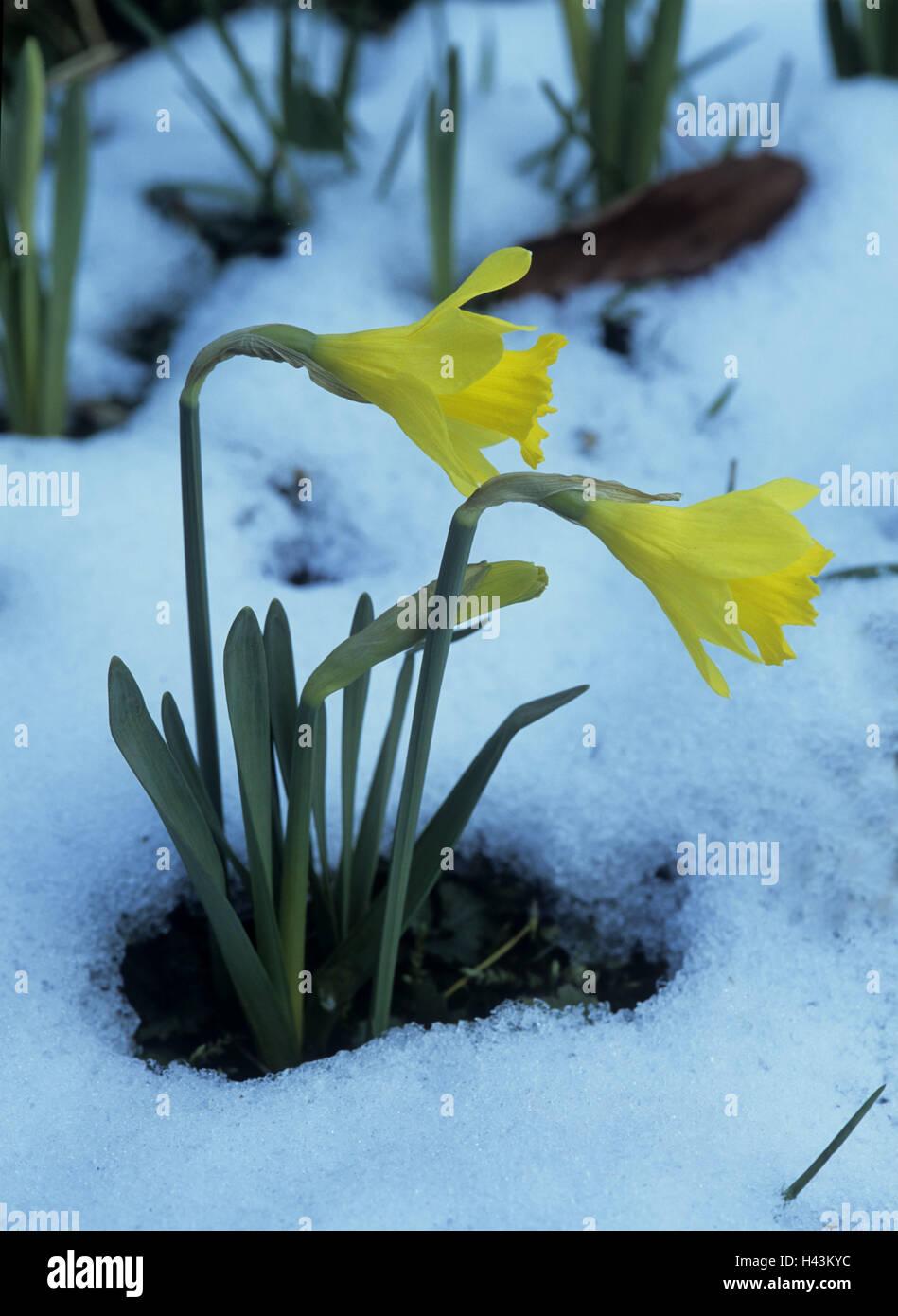 Garten Narzisse Blute Schnee Reste Pflanze Blumen Schnee