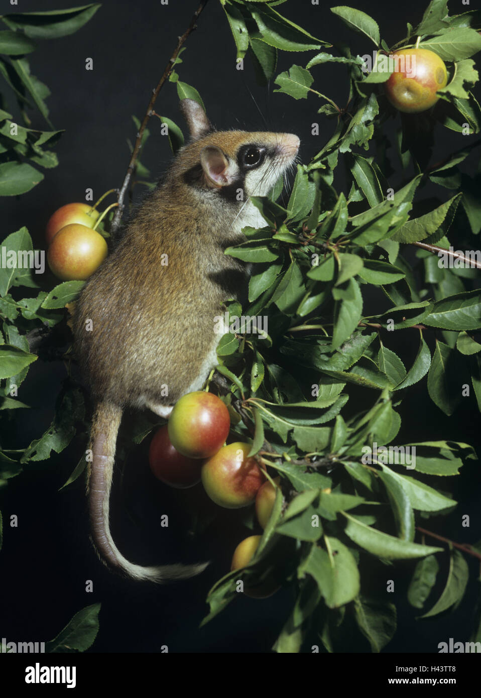 Obstbaum, Gartenschläfer, Eliomys Quercinus, Früchte, Essen, Tierwelt, Wildlife, Tier, wildes Tier, Nagetier, Stockbild