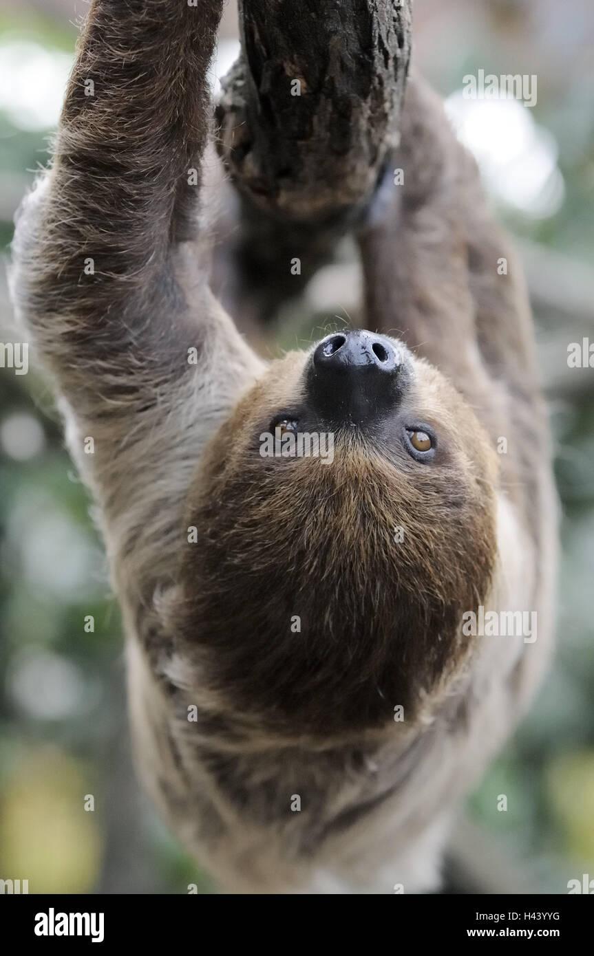 2 finger-Faultier, Choloepus Didactylus, Zweig, hängen, Aufstieg kopfüber, Tier, wildes Tier, Zoo-Tier, Stockbild