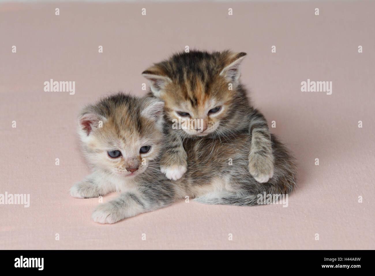 Katzen, junge, liegen, gemeinsam, müde, Bett, Säugetiere, Haustiere, Tiere, kleine Katzen, Felidae, zähmt, Haus Katze, Jungtier, Kätzchen, zwei Geschwister, klein, ungeschickt, unbeholfen, hilflos, süß, kriechen, es kuscheln, gestreift, Liebe, Naht, Zweisamkeit, jungen Tieren, tierischen Baby innen, Stockfoto