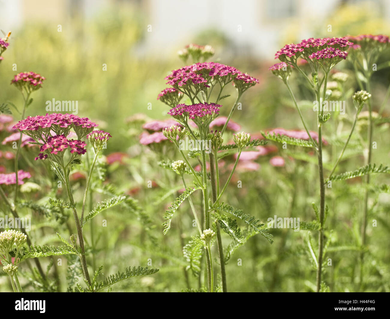 gemeinsamen schafgarbe achillea millefolium 39 paprika 39 detail bl ten rosa pflanze blumen. Black Bedroom Furniture Sets. Home Design Ideas