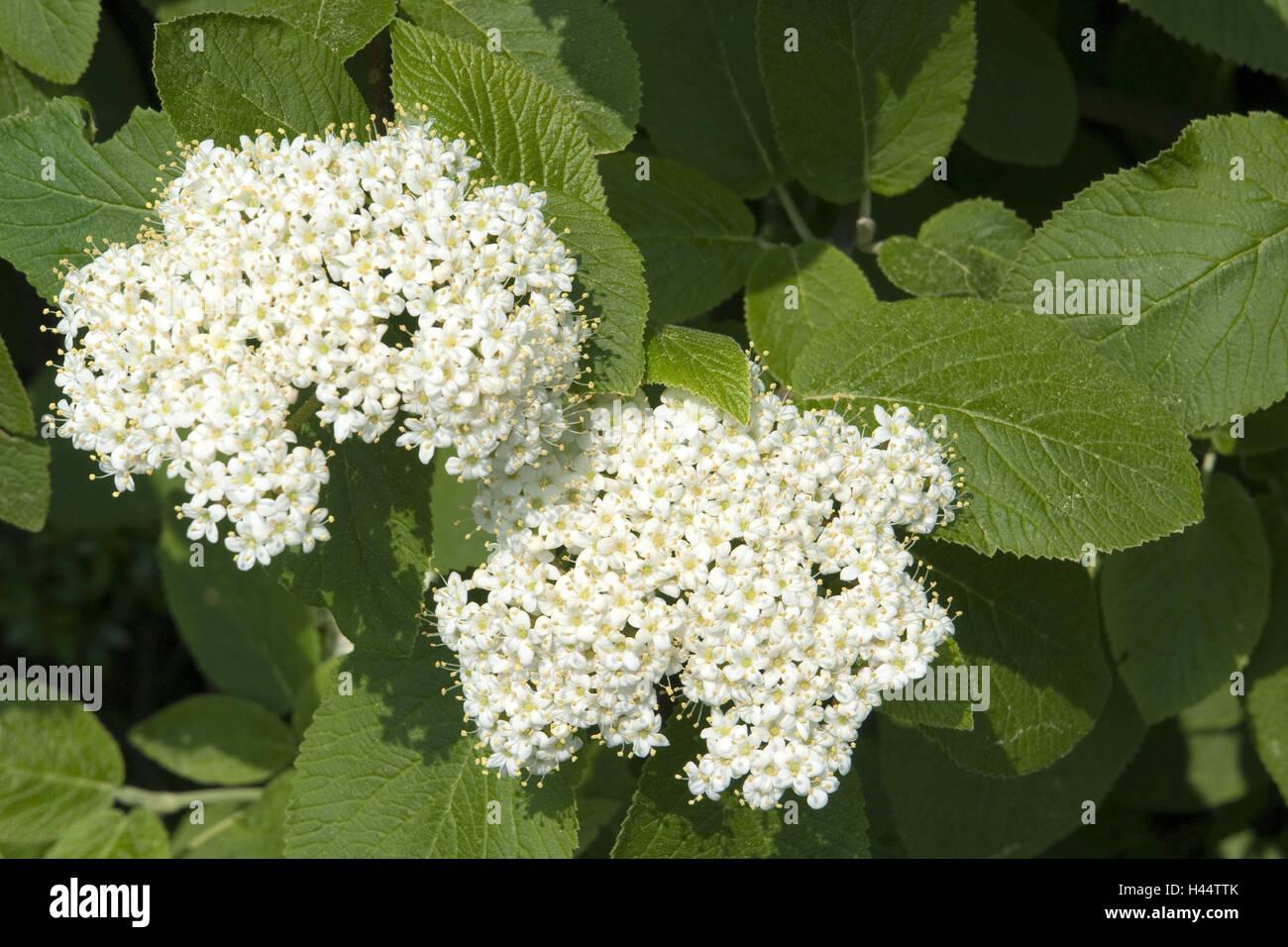 Strauch Wolligen Schneeball Viburnum Lantana Detail Blätter