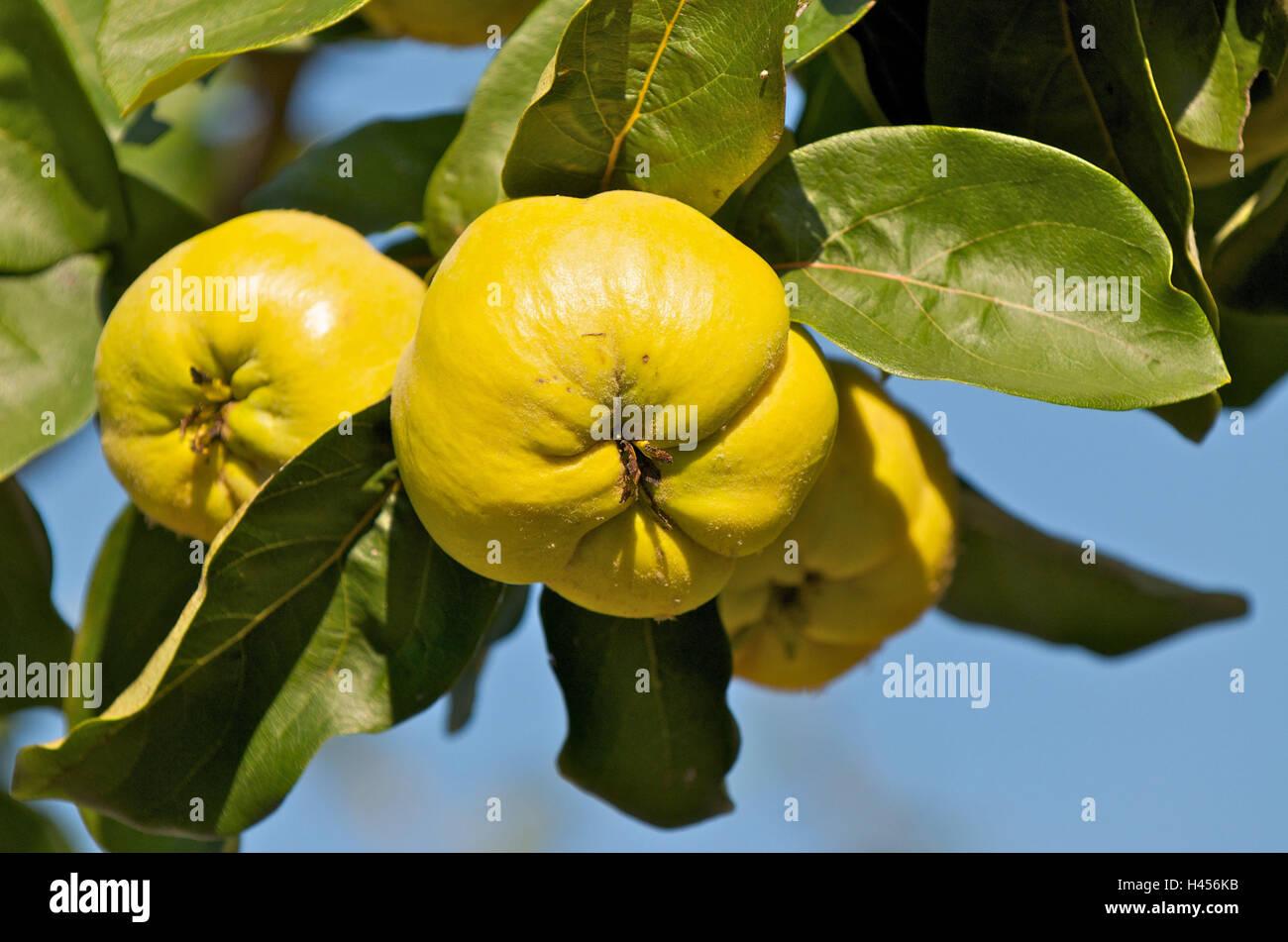 Quitte Baum, Cydonia Oblonga, Zweig, Früchte, Stockbild