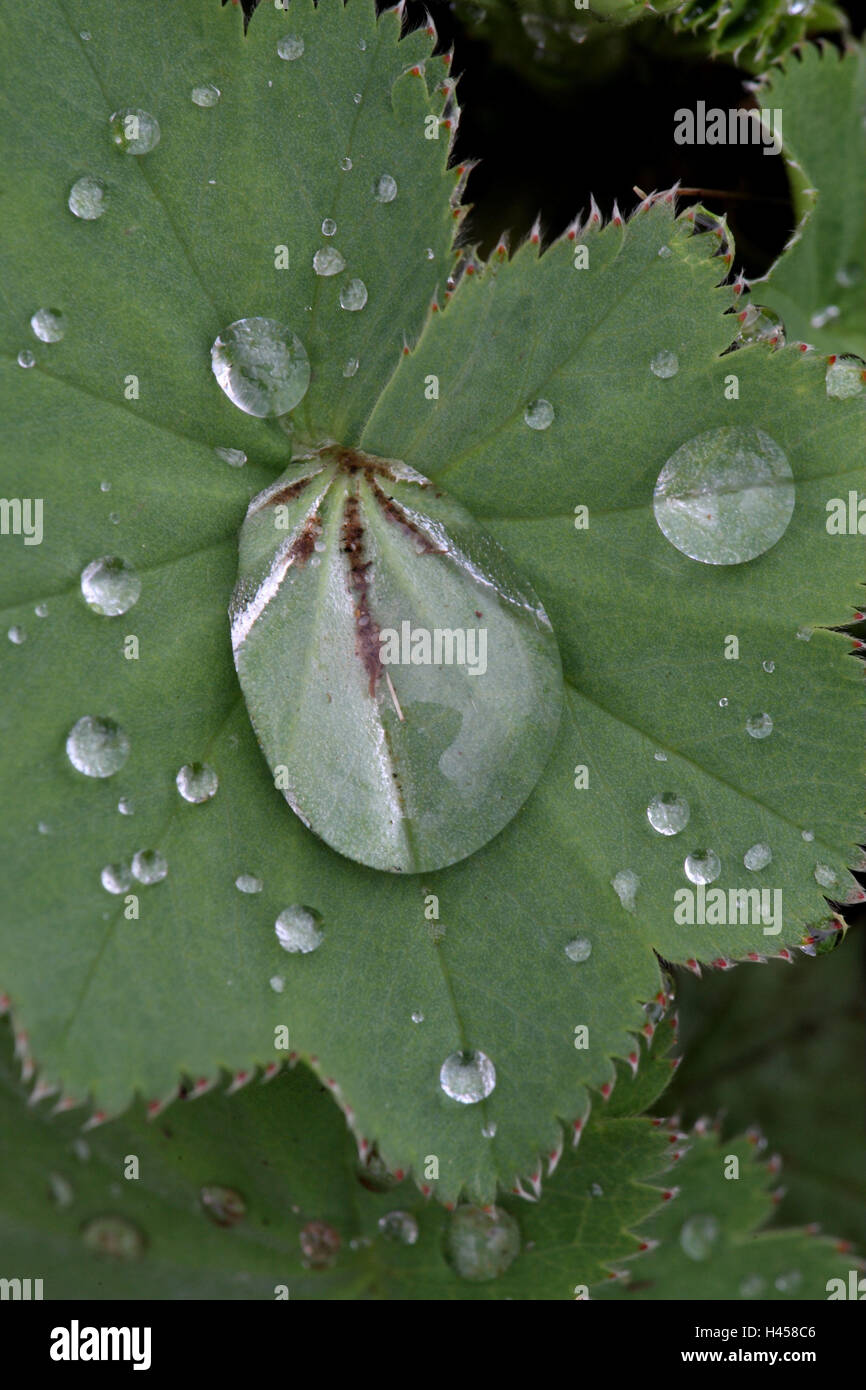 Frauen Gehäuse, Alchemilla spec, Blätter, Detail, Tropfen, Wasser, Natur, Botanik, Flora, Pflanze, Heilpflanzen, Stockbild