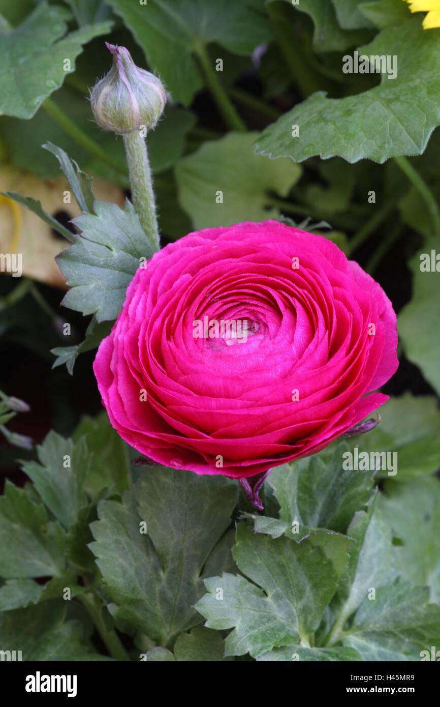 Beliebt Bevorzugt Ranunkel, Blüte, rosa, Blume, Garten, Garten, Blume, dekorative &OI_82