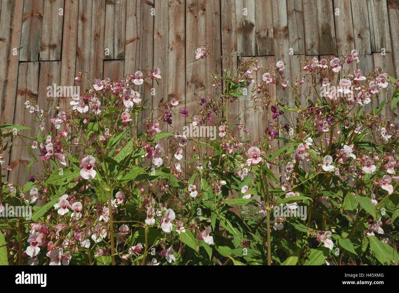Scheune, Springkraut, mittlere Nahaufnahme, Finnland, Rantasalmi, Stockfoto