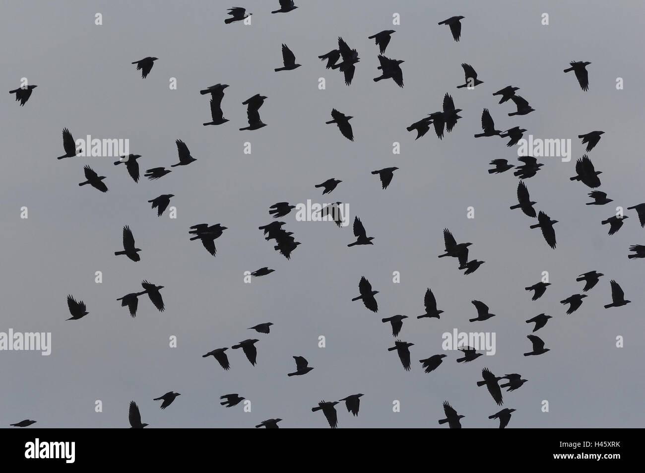 Krähen, Rabenvögel, träumen, Stockbild