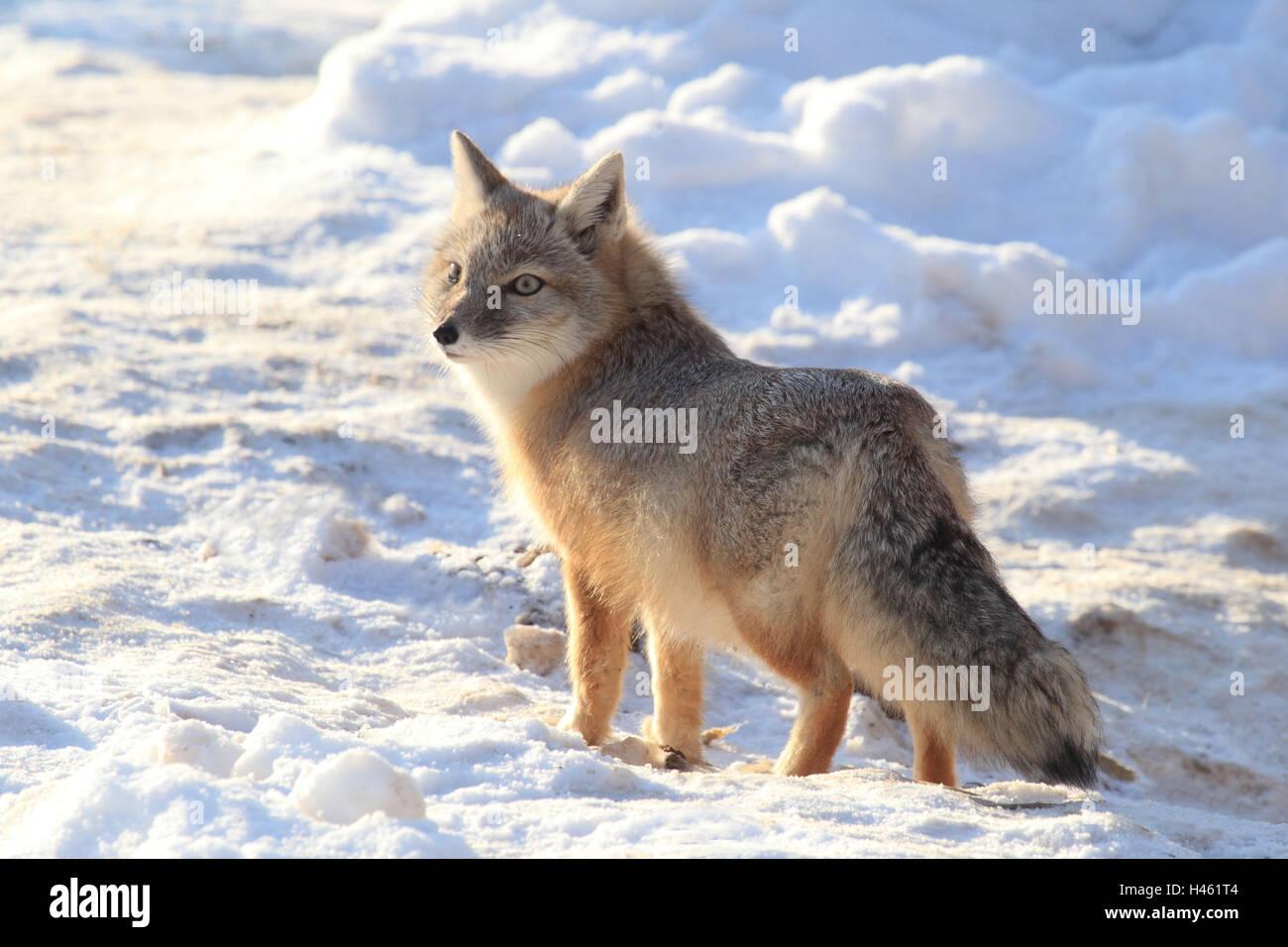 Steppe Fuchs Im Winter Stockfoto Bild 123064372 Alamy