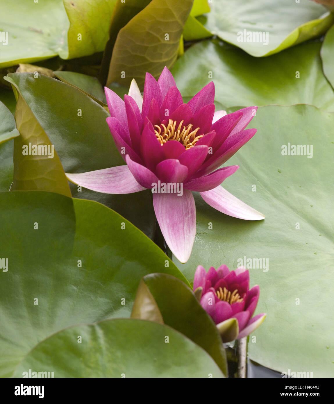 Ganz und zu Extrem Teich, Seerosen, Nymphaea spec Blüte, rosa, See, Seerosenteich #WF_77