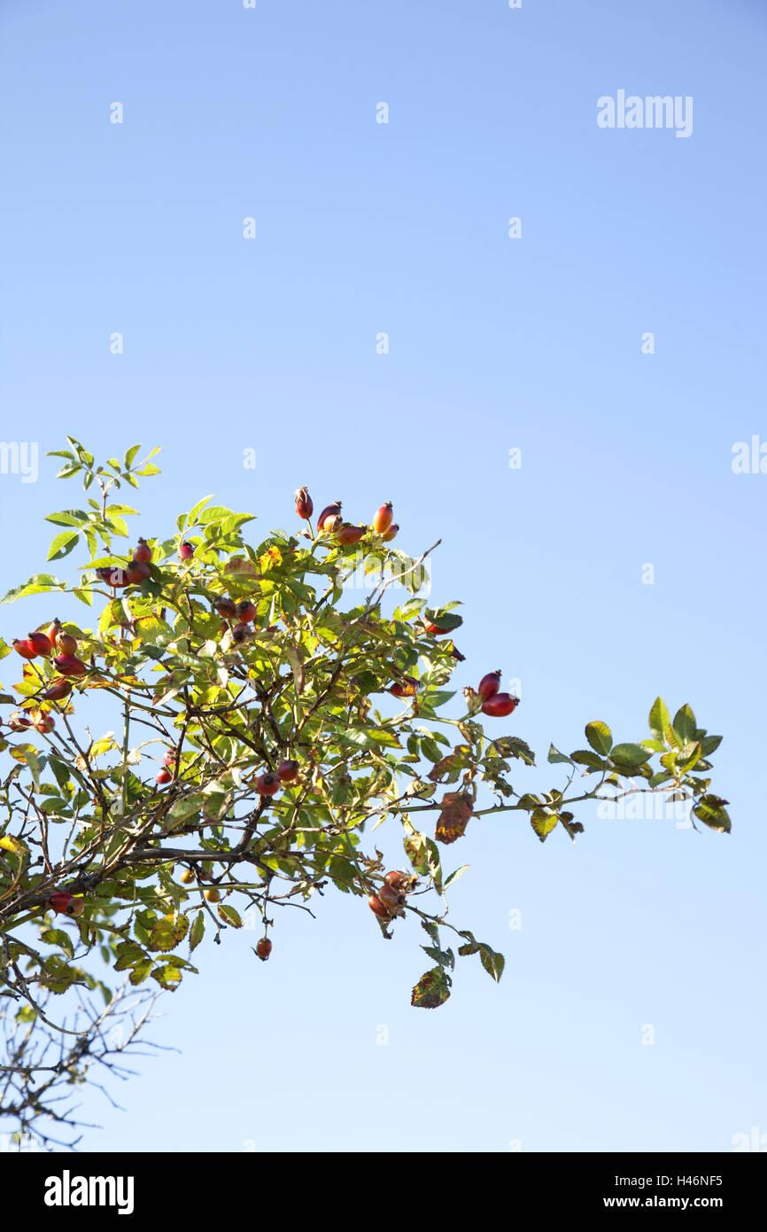 Beliebt Bevorzugt Hagebutte-Strauch, Himmel, blau, Natur, Pflanze, Busch, Strauch &AX_39