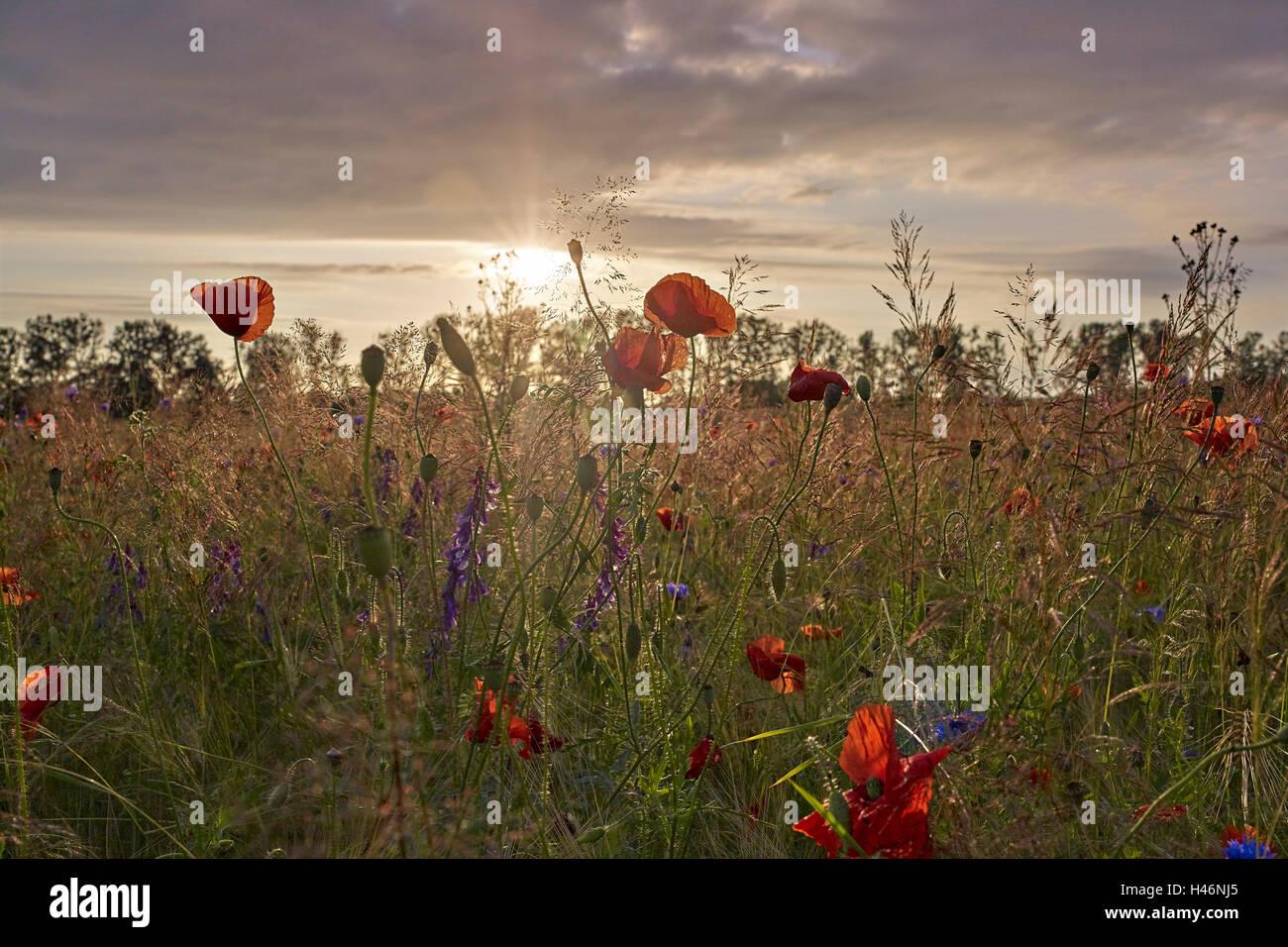 Feld mit Mohnblumen bei Sonnenuntergang in der Nähe von Mirow, Mecklenburg Western Pomerania, Deutschland Stockfoto