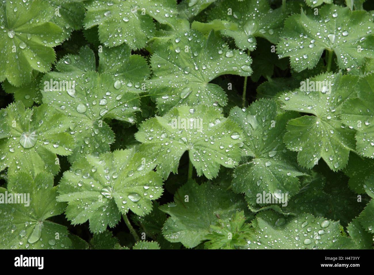 Frauen Gehäuse, Blätter mit Tropfen Wasser, Stockbild