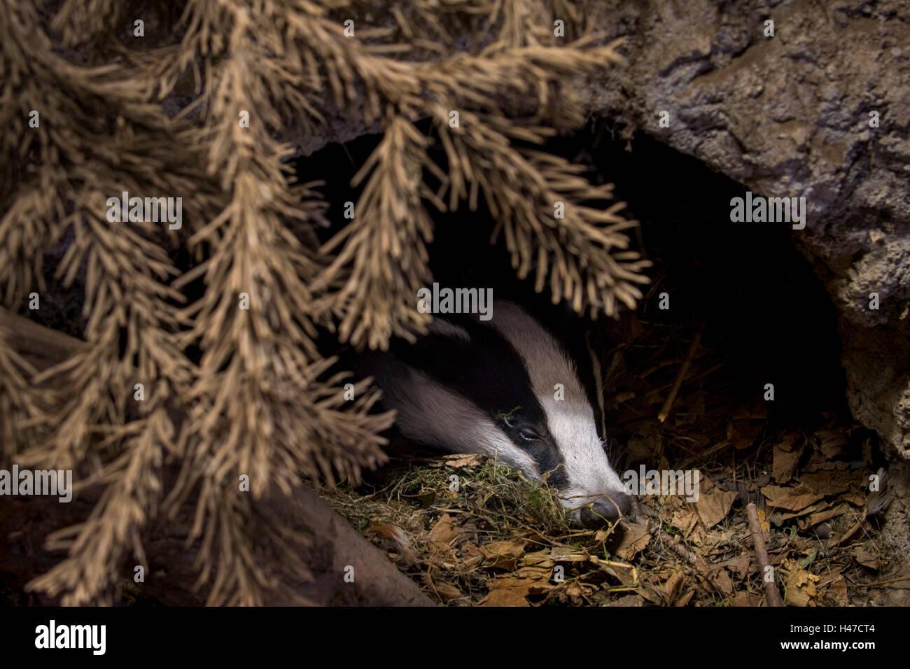 Europäischer Dachs (Meles Meles) in Höhle schlafen / Sett im Nadelwald Stockfoto