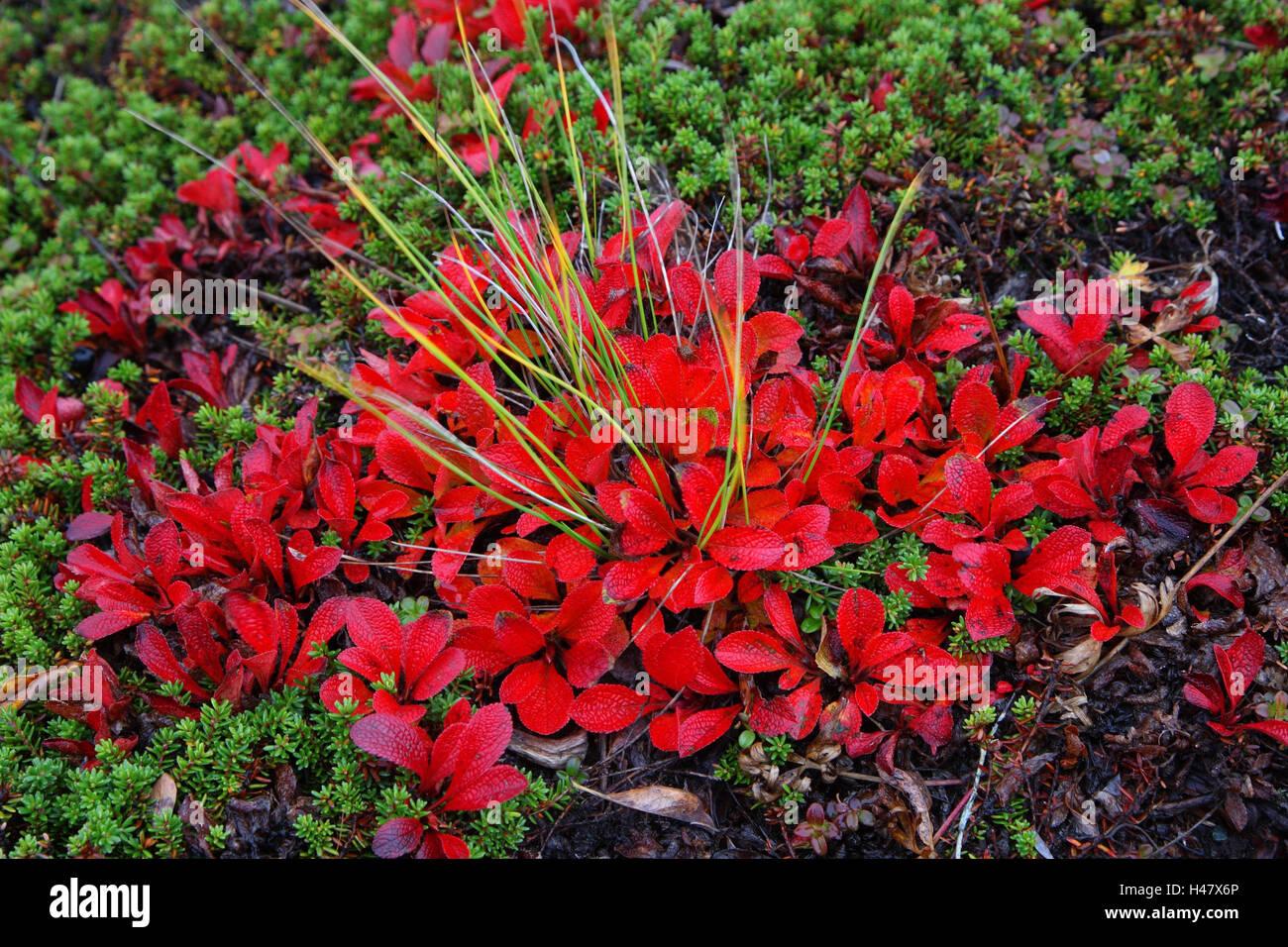 Wald Boden Pflanzen Blatter Alpen Bar Traube Herbst Stockfoto