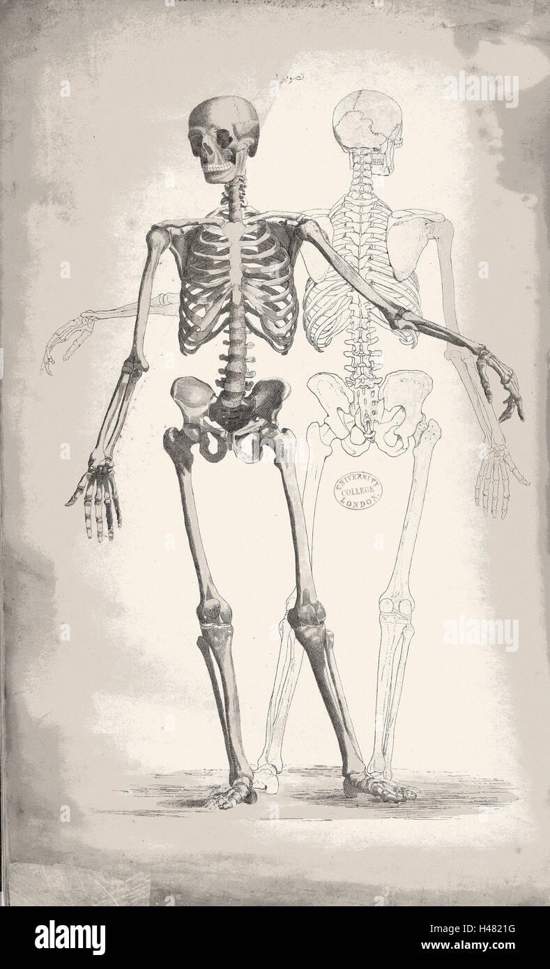 Abbildung des menschlichen Skeletts Stockfoto, Bild: 123108428 - Alamy