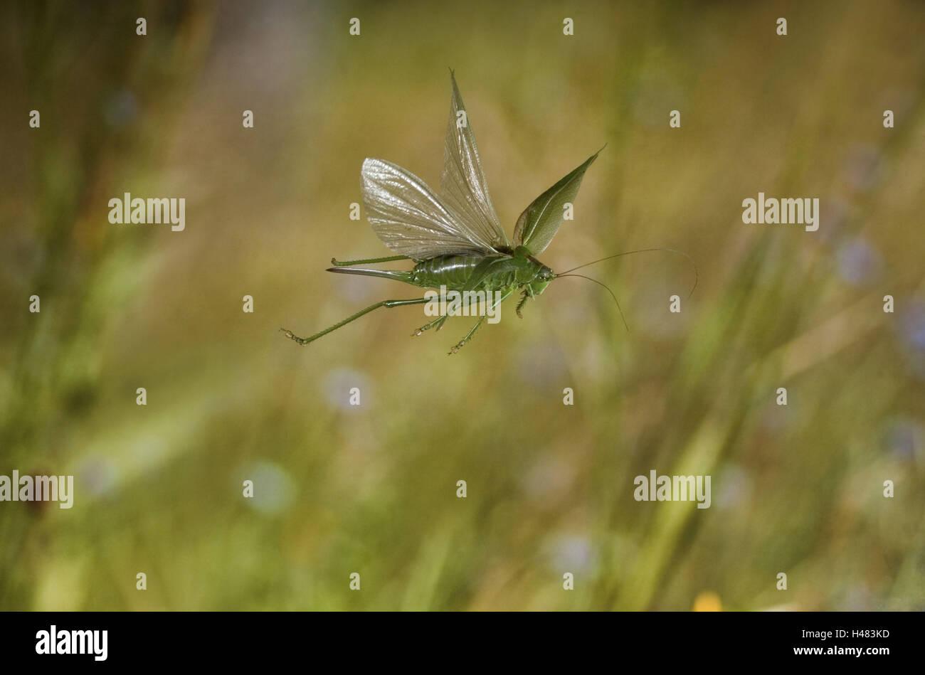 Grüne Heu Pferd, Tettigonia Viridissima, im Flug, Stockbild