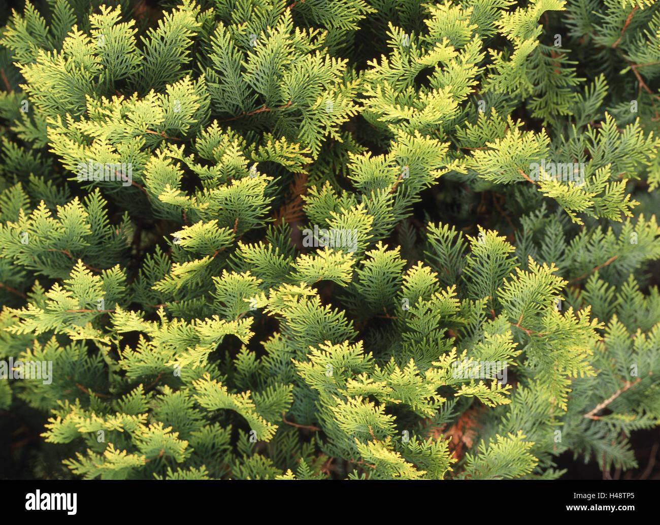 Lebensbaum Thuja spec Detail Zweige Pflanze Strauch