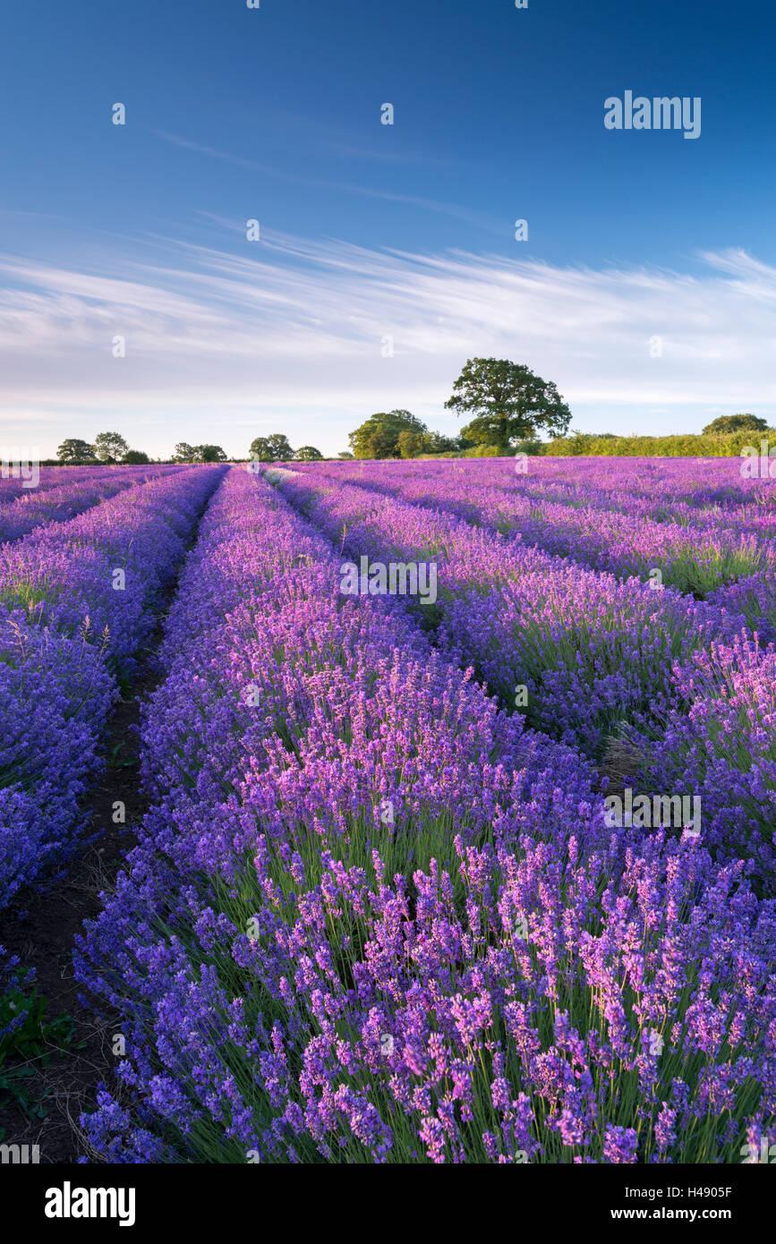 Lavendel-Feld in Blume, Faulkland, Somerset, England. (Juli) im Sommer 2014. Stockbild