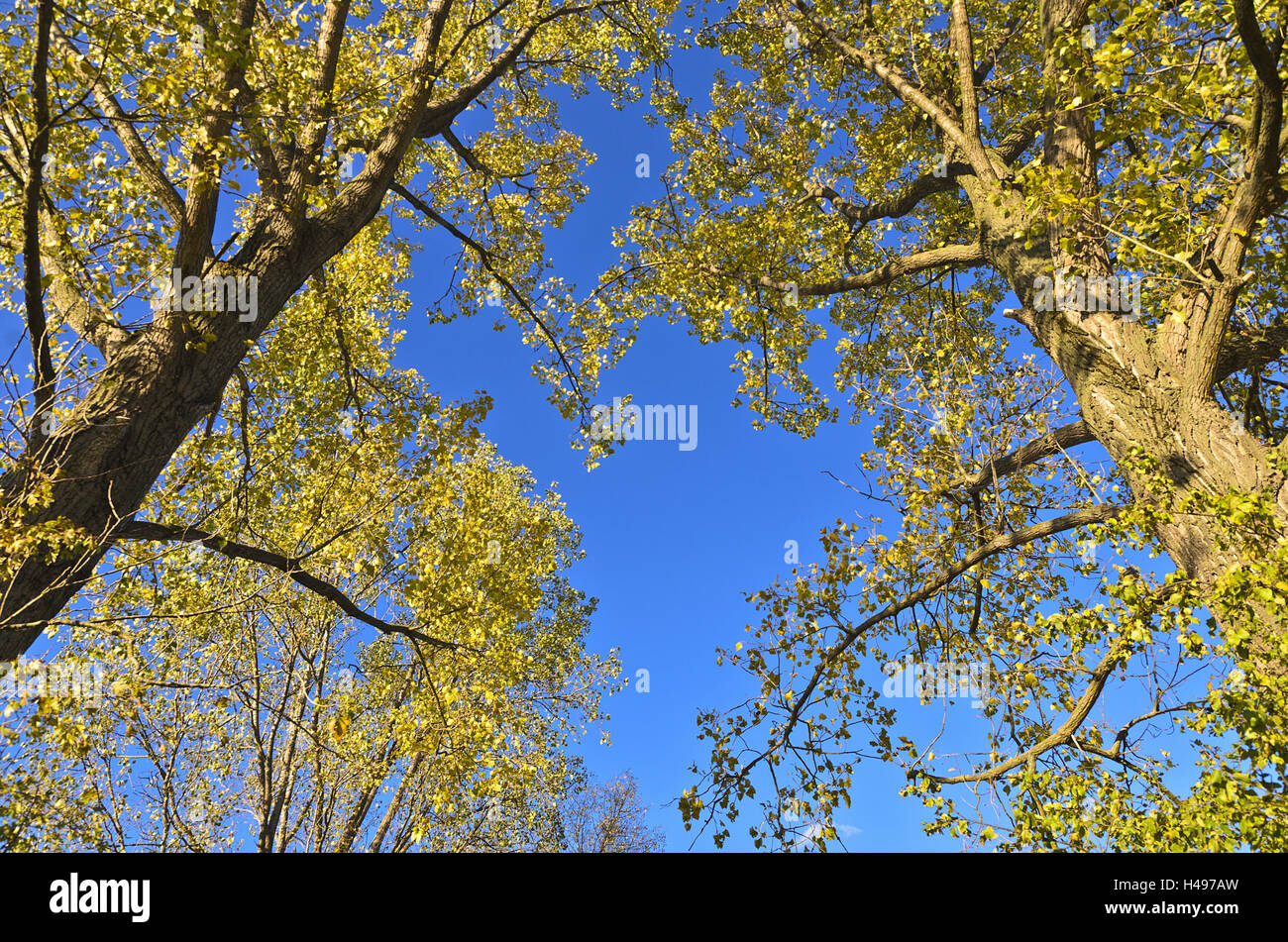Pappeln, Baumkronen, von unten, Stockbild