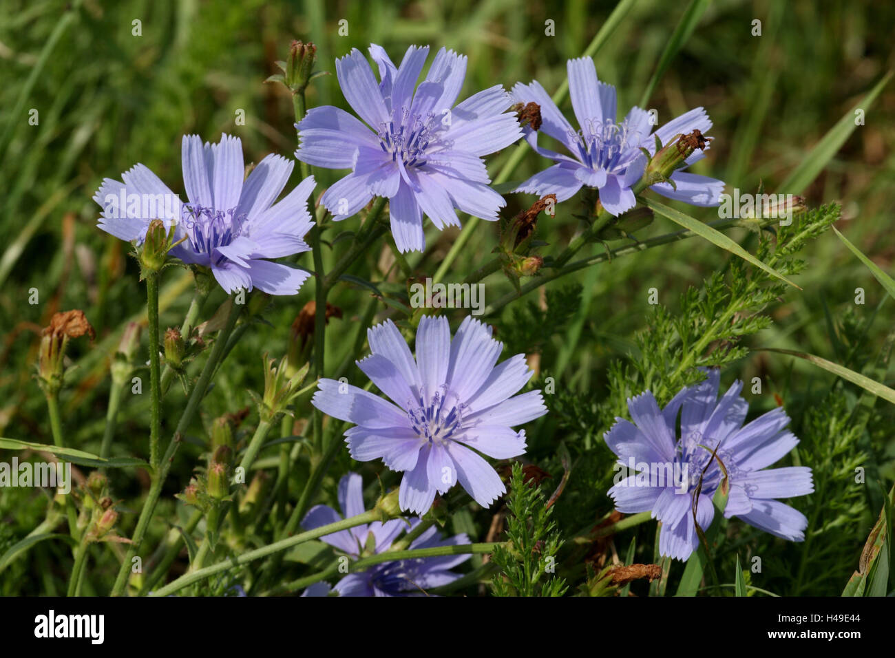 Chicorée Blüten Stockfoto Bild 123139860 Alamy
