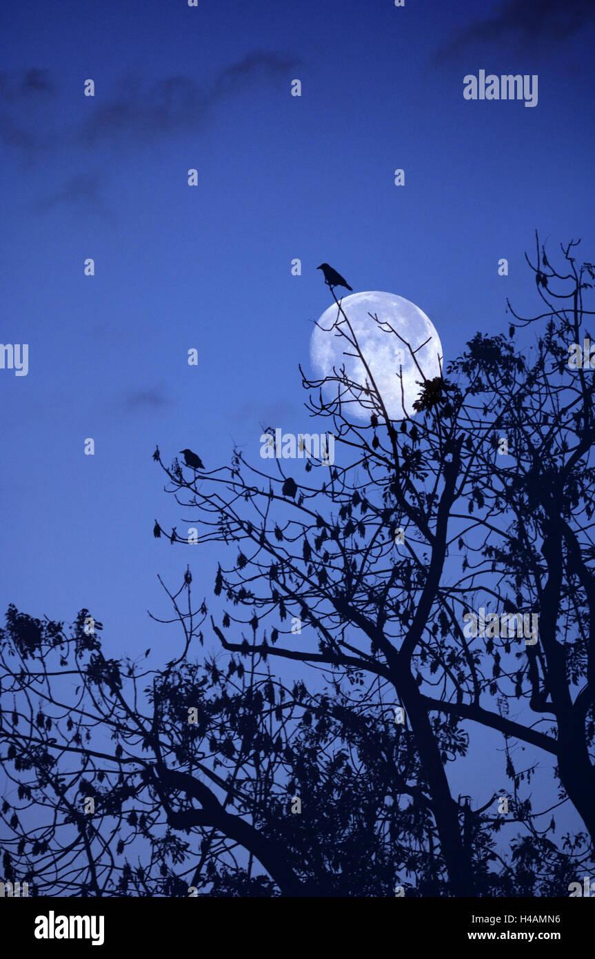 Vögel, Krähen, Kontur, in der Nacht, Mond, (M), Stockbild