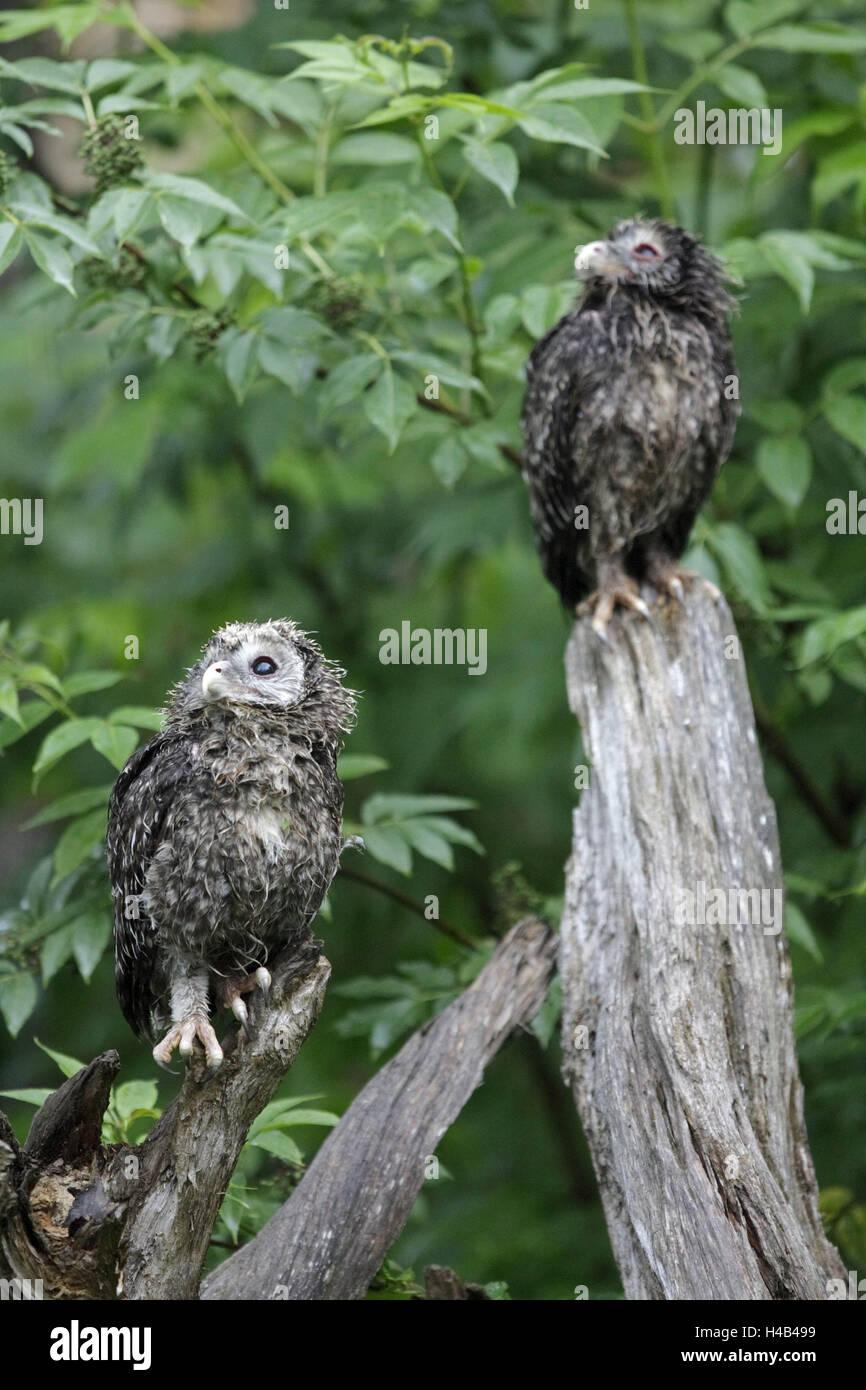 Strix Uralensis, Jungtiere, Gefieder Änderungen, Hawk es Eulen, zwei wilde Tier, Tier, Vogel, Eule, Eulen, Stockbild