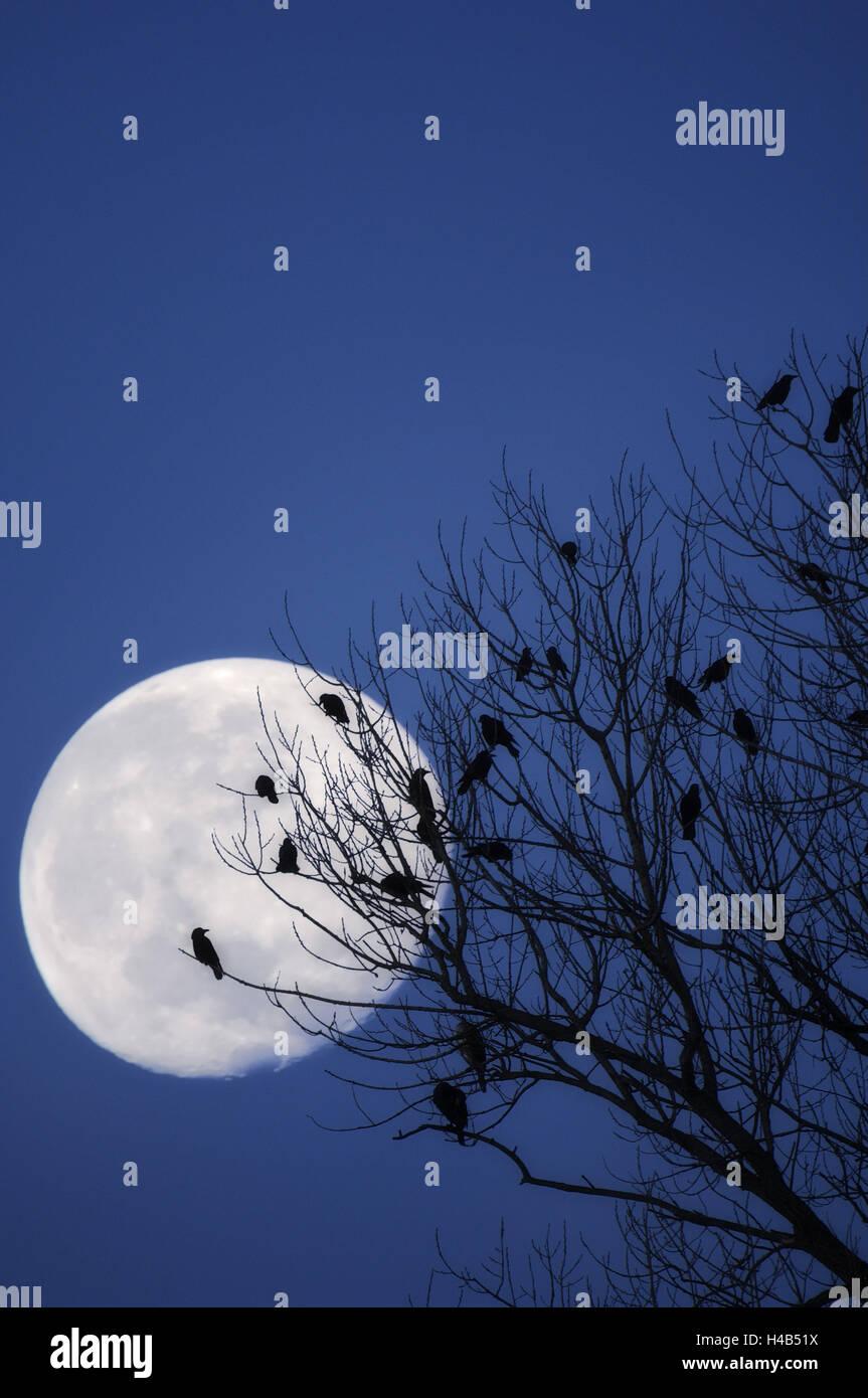 Vögel, Krähen, Kontur, in der Nacht, Mond, Stockbild