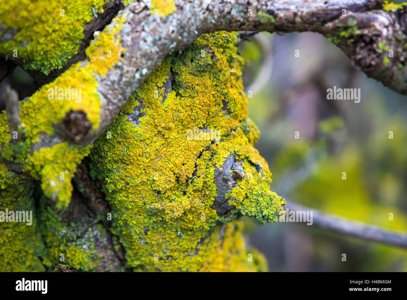 Mandelbaum in der Nähe von Santiago del Teide auf Teneriffa, Kanarische Inseln, Spanien, Europa Stockbild
