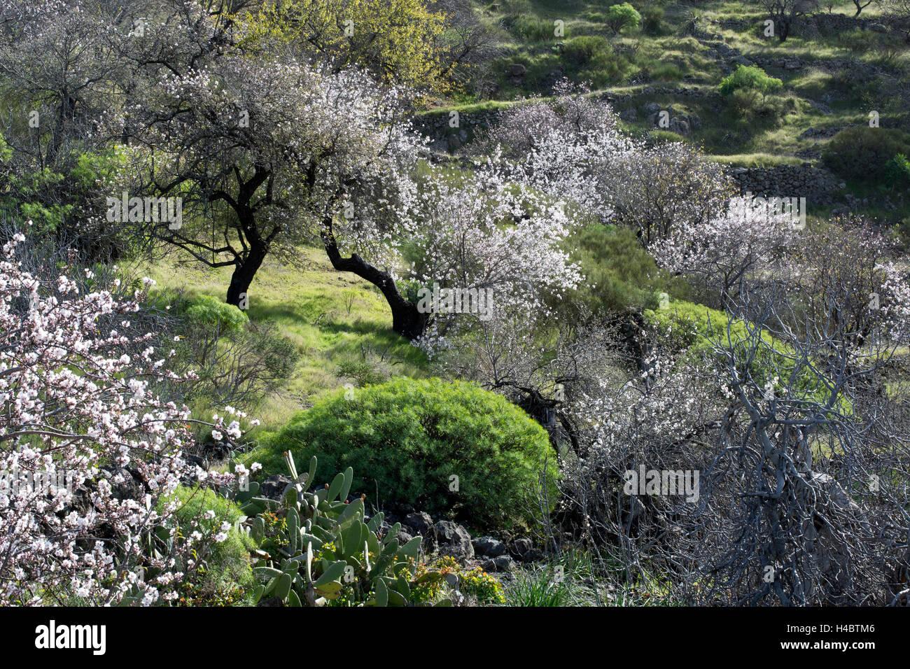 Mandelbaum Blüte in der Nähe von Santiago del Teide auf Teneriffa, Kanarische Inseln, Spanien, Europa Stockbild