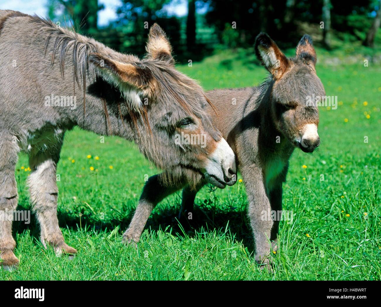Esel Stute führenden Fohlen für Weideland, sommerliche Weide Stockfoto