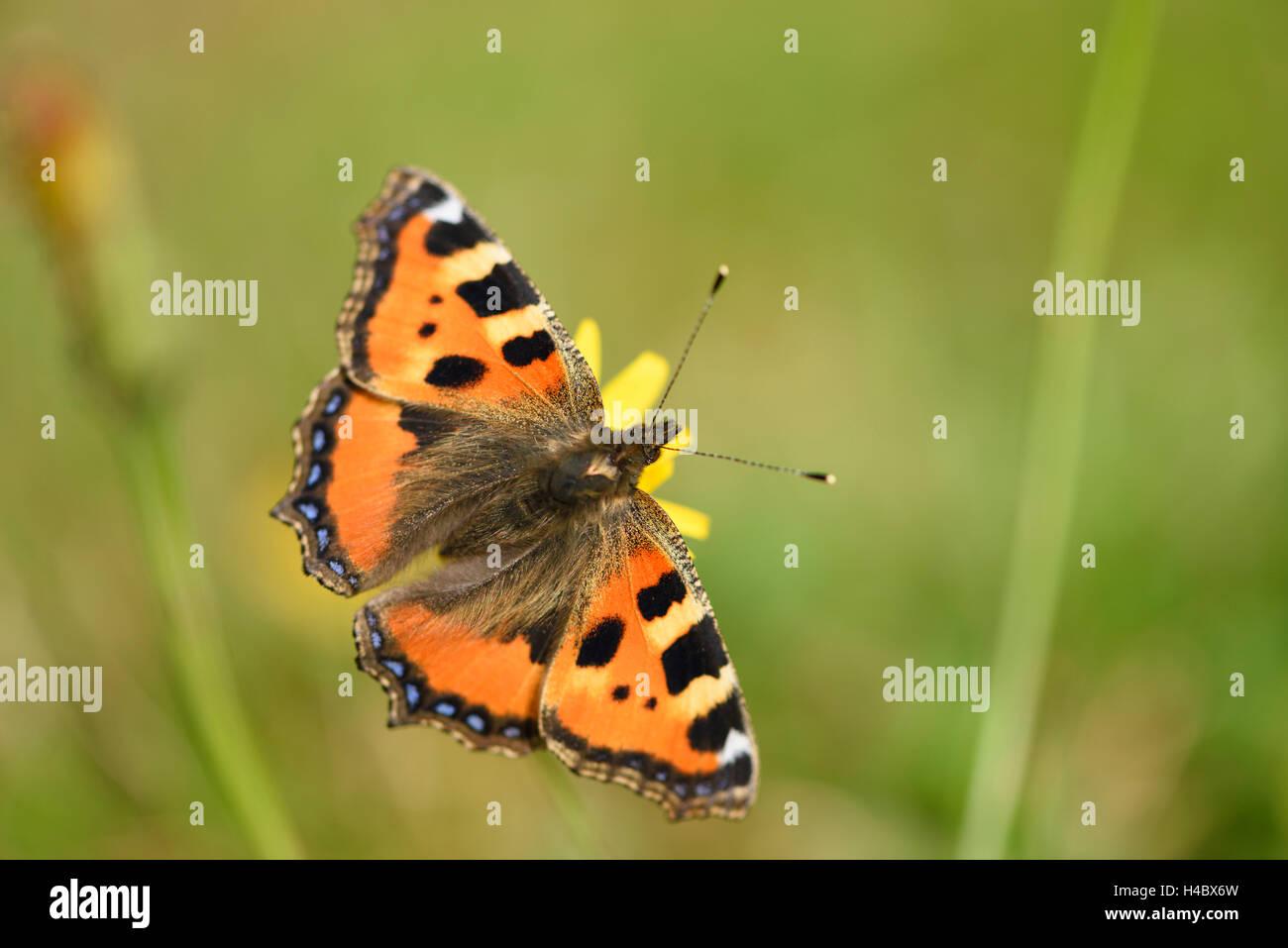 Kleiner Fuchs, Aglais Urticae, Blüte, sitzen, Bestäubung, Rückansicht Stockbild