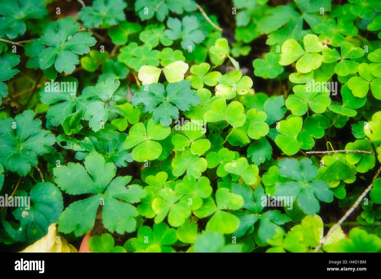 Kleeblätter Muster Stockbild
