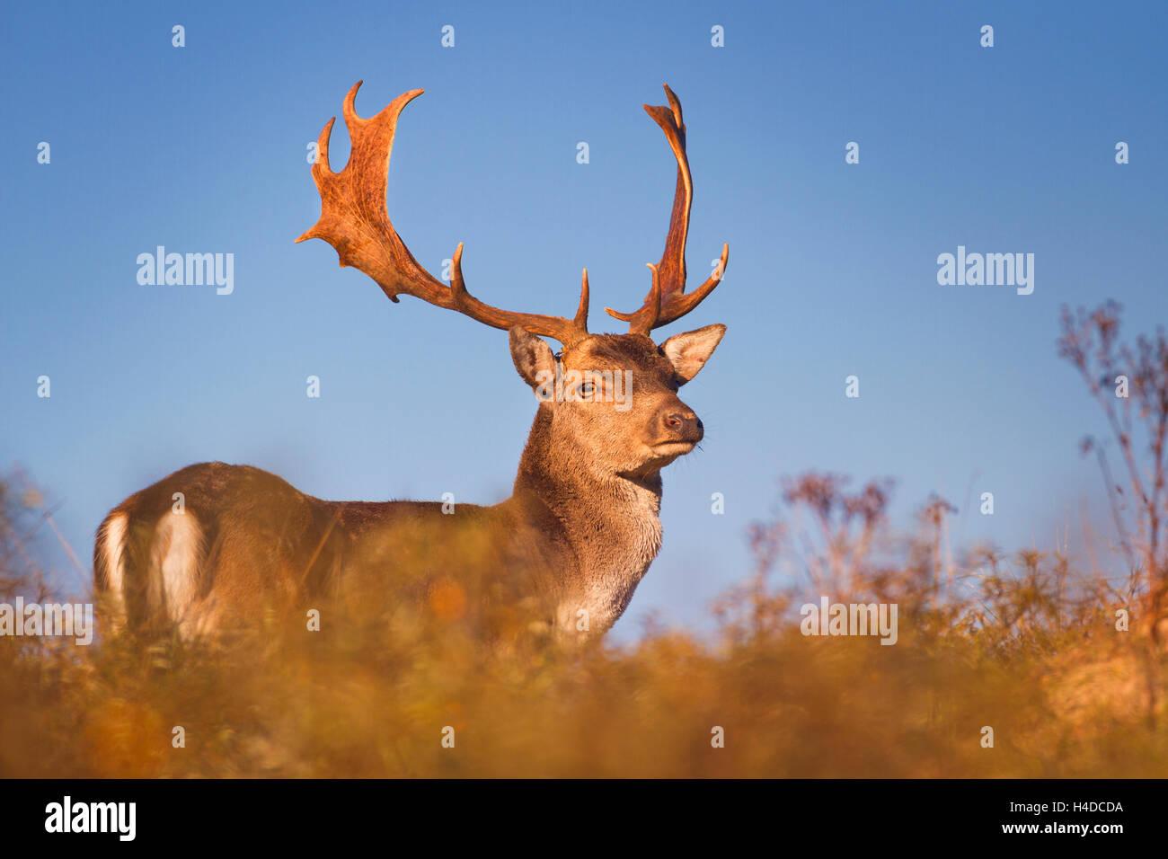 Eine wilde männliche Damhirsche im morgendlichen Sonnenlicht. Fotografiert im Herbst in der Brunft Saison in Stockbild