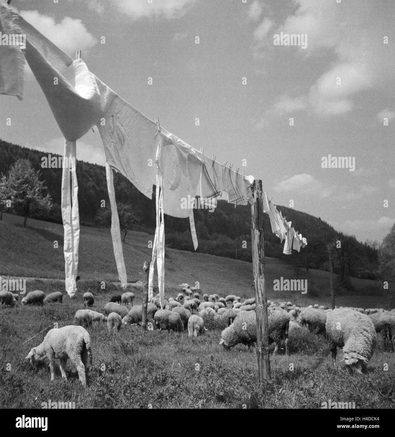 Frische Wäsche Trocknet Auf Einer Leine Zwischen Einer Herde Schafe, 1930er Jahre Deutschland. Frisch waschen Stockbild