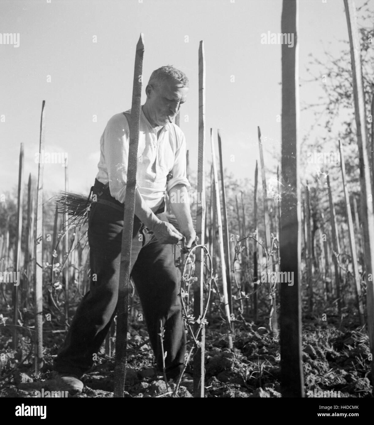 Ein Winzer Schwitzt Bei der Arbeit in seit Weinberg, 1930er Jahre Deutschland. Ein Winzer arbeiten im Weingarten, Stockbild