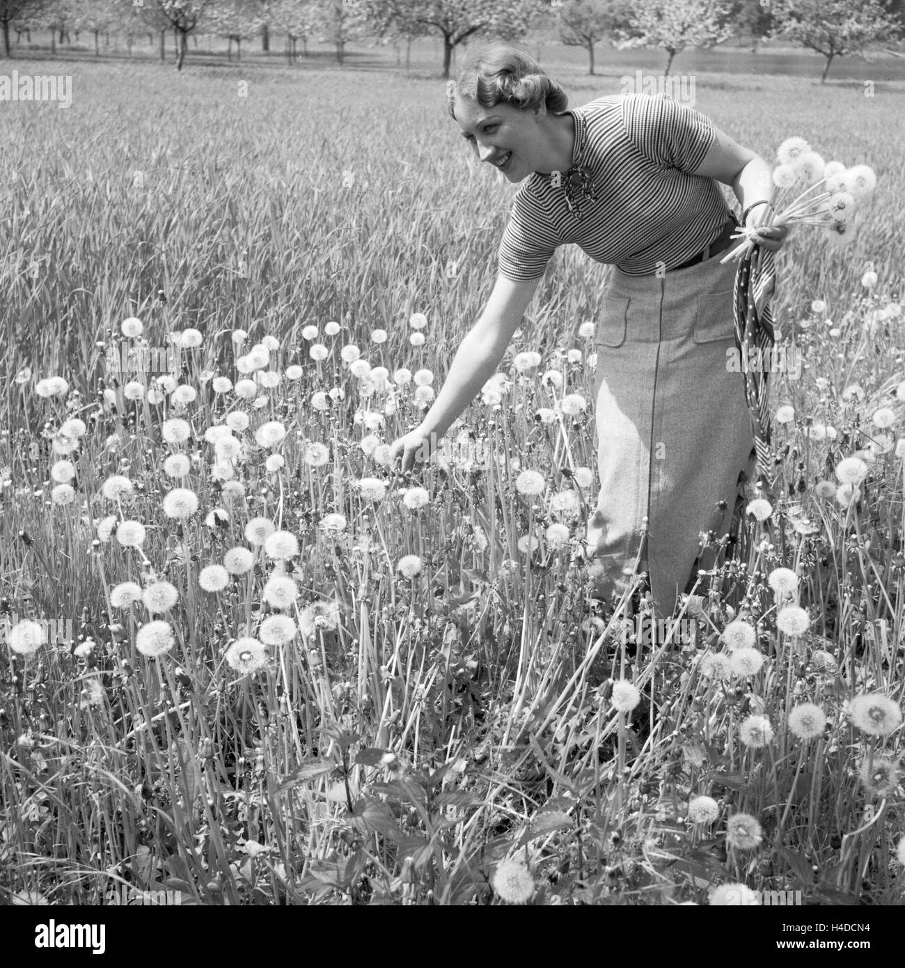 Eine Frau Pflückt Löwenzahn in Einem Feld, Deutschland 1930er Jahre. Eine Frau, die Kommissionierung einige Stockbild
