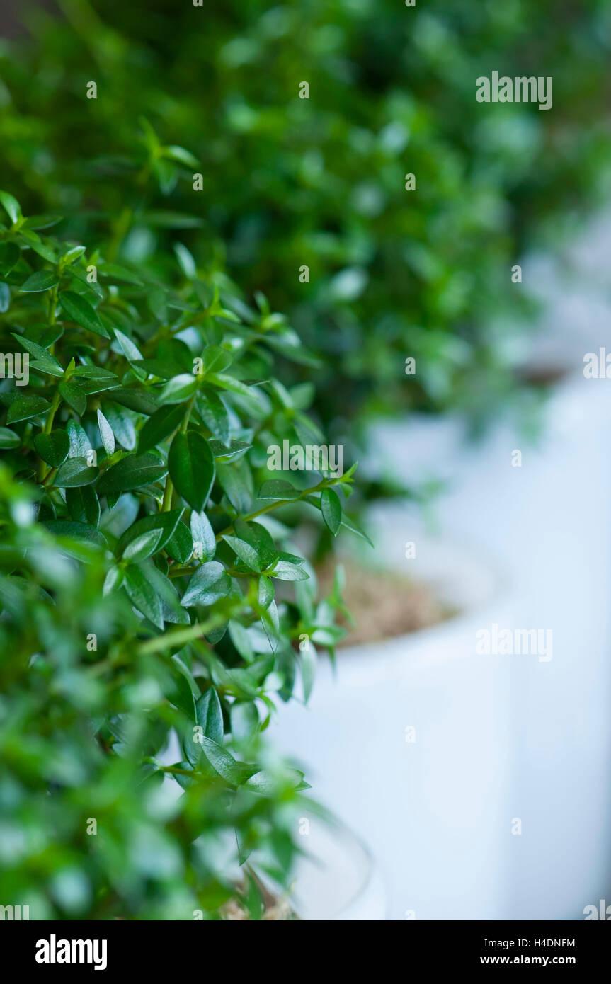 Buchen Sie kleine Bäume (Buxus Sempervirens, Buxus) in einer Zeile Stockbild
