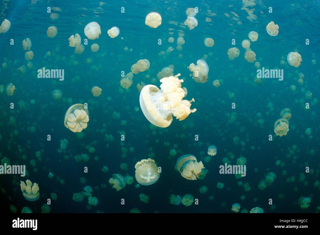 Jellyfish Lake mit endemischen stachellosen entdeckt Gelee oder Lagune Gelee (Mastigias Papua Etpisonii), Palau, Mikronesien, Pazifik Stockfoto