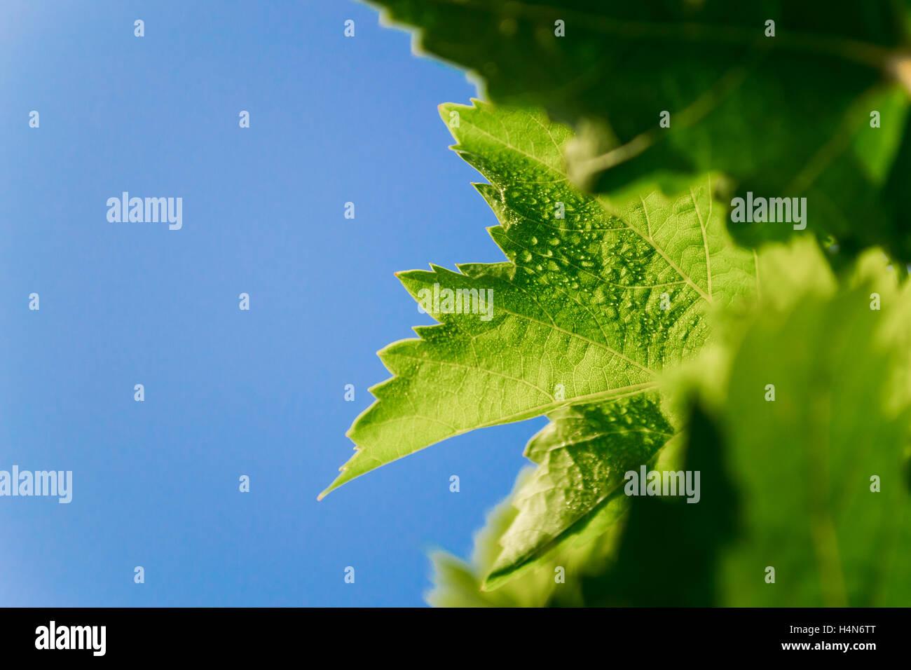 Weinblatt mit Tröpfchen. Stockbild
