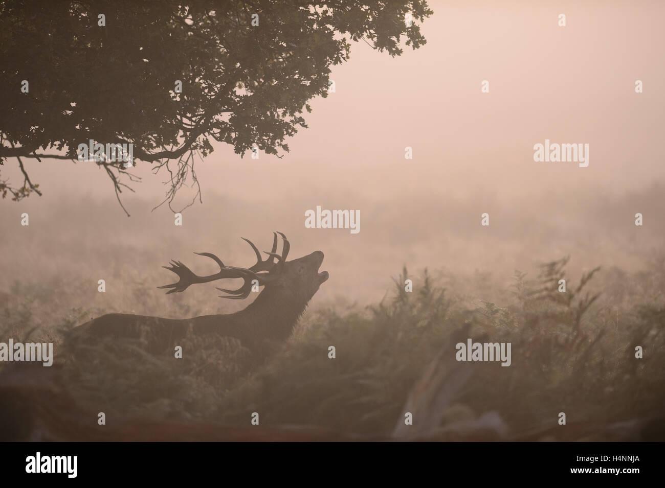 Rotwild-Hirsch ruft im Nebel am frühen Morgen bei Sonnenaufgang, Richmond Park, London, UK. Stockbild