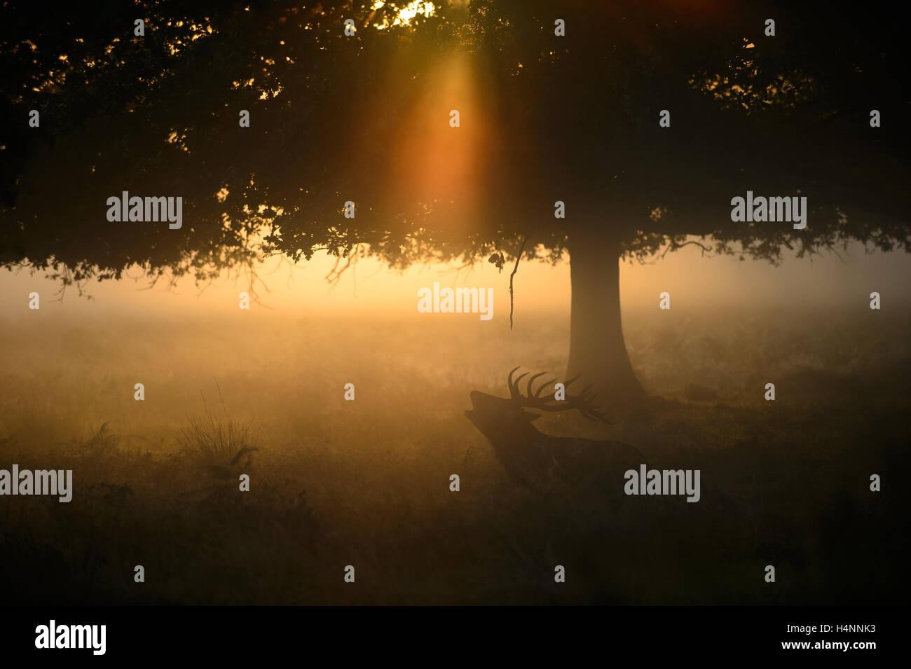 Rotwild-Hirsch ruft nebligen Morgen bei Sonnenaufgang, unter einem Baum und Lichtstrahlen, Richmond Park, London, Stockbild