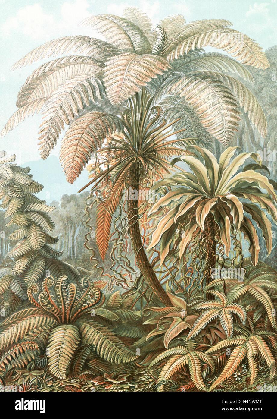 Abbildung zeigt Farne. Filicinae. -Laubfarne, 1 print: Farbe fotomechanischen; Blatt 36 x 26 cm., 1904. Ernst Haeckel Stockbild