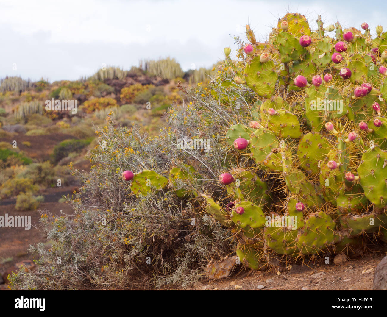 Vulkanische Vegetation im Teno Country Park auf Teneriffa Stockbild