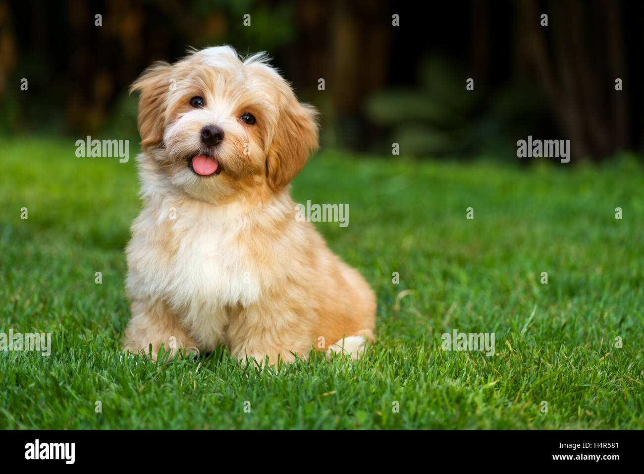 gl ckliche kleine orange havaneser welpe hund sitzt auf dem rasen stockfoto bild 123440241 alamy. Black Bedroom Furniture Sets. Home Design Ideas