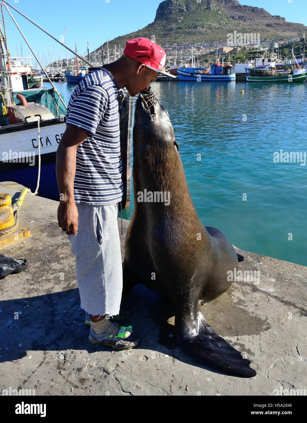"""Mann, allgemein bekannt als das """"Siegel Mann"""" von Hout Bucht Fütterung Siegel mit Fisch im Mund als Stockbild"""